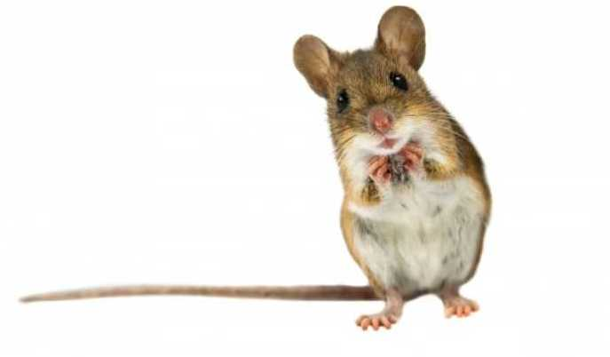 standing mouse